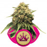 Special Queen n. 1 - 10 feminizowanych nasion Royal Queen Seeds